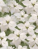Timeless Treasures A Very Merry Christmas Poinsettia White